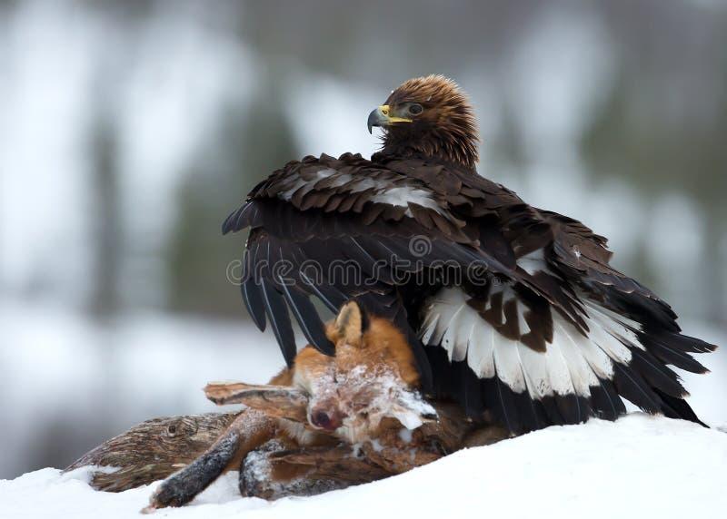 Gouden adelaar (Aquila-chrysaetos) royalty-vrije stock afbeeldingen