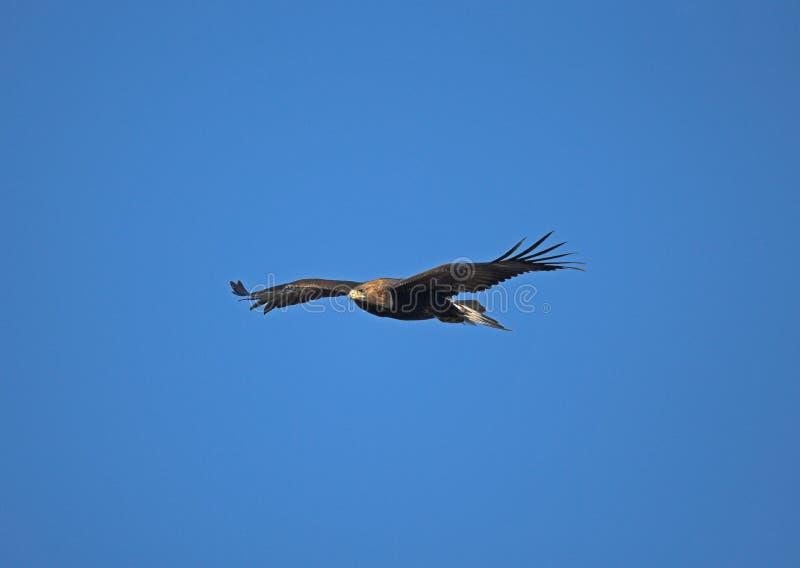 Gouden adelaar, Aquila-chrysaetos stock fotografie