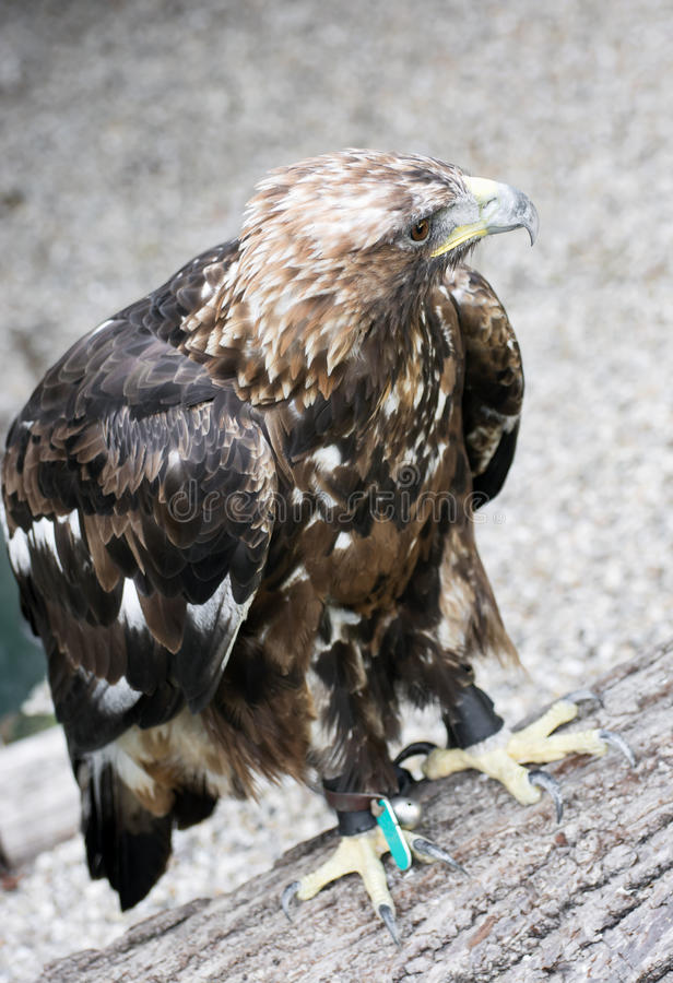 Gouden adelaar (Aquila-chrysaetos) in gevangenschap royalty-vrije stock fotografie