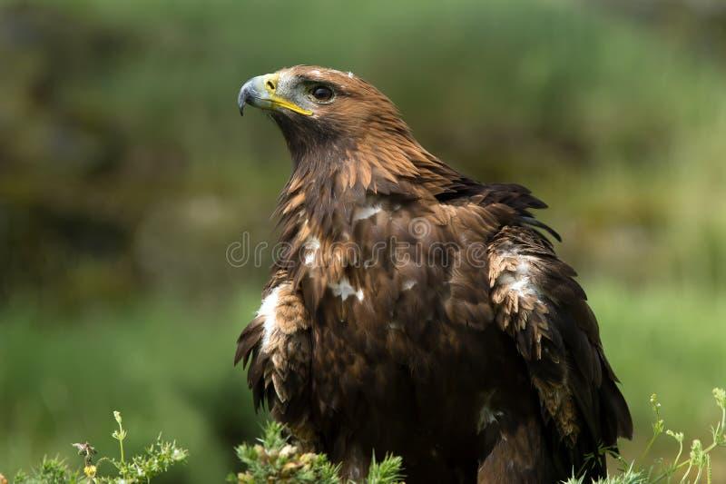 Gouden adelaar (aquilachrysaetos) royalty-vrije stock foto