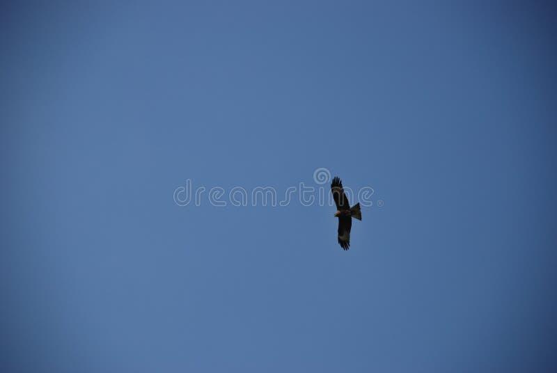 Gouden adelaar die hoog in de duidelijke blauwe hemel vliegen royalty-vrije stock afbeelding