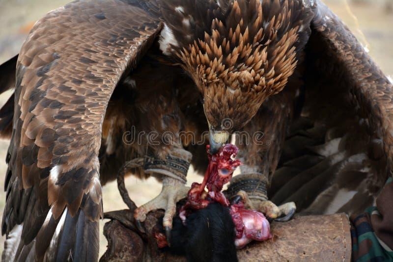 Gouden adelaar (erne, Aquilla Chrisaetos die), na een succesvolle jacht, Kyrgyzstan eten royalty-vrije stock fotografie