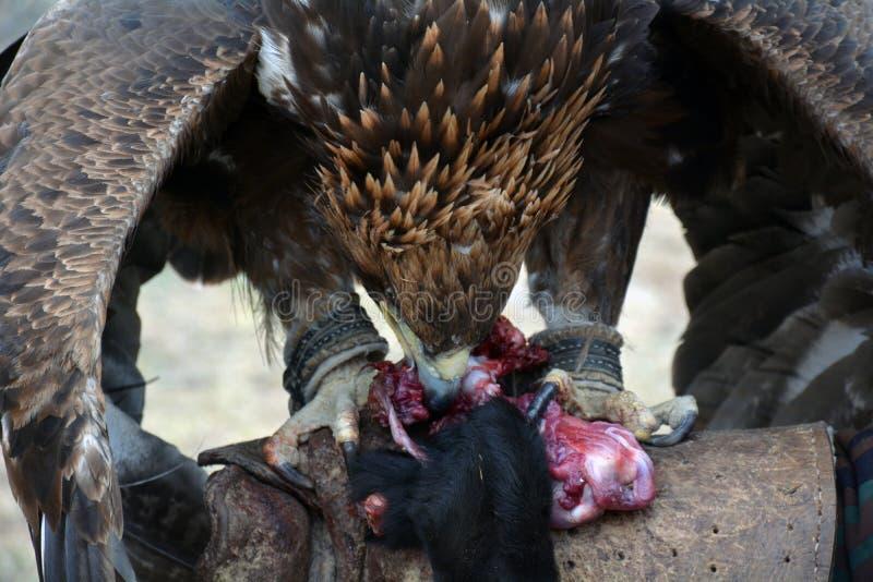 Gouden adelaar (erne, Aquilla Chrisaetos die), na een succesvolle jacht, Kyrgyzstan eten stock afbeelding