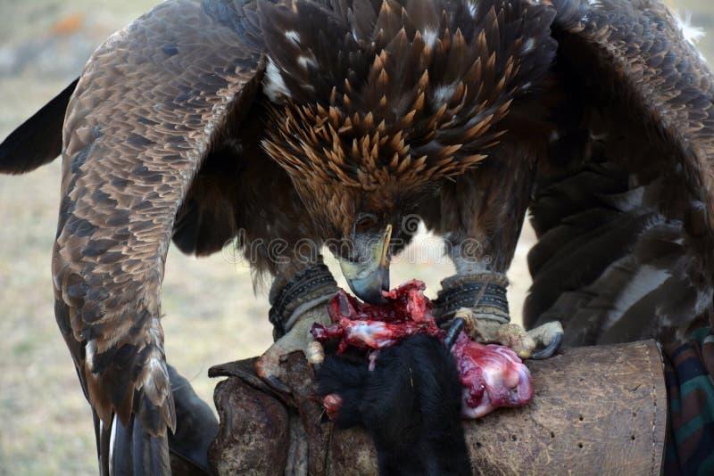 Gouden adelaar (erne, Aquilla Chrisaetos die), na een succesvolle jacht, Kyrgyzstan eten royalty-vrije stock foto's