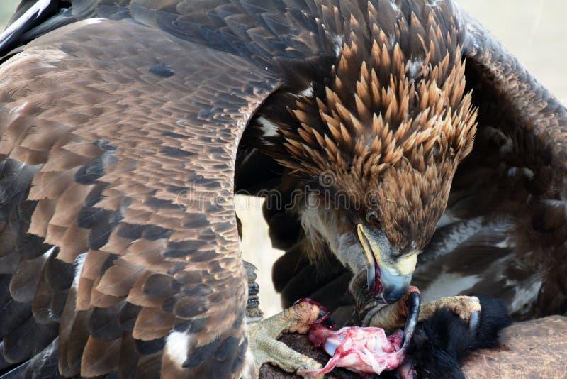Gouden adelaar (erne, Aquilla Chrisaetos die), na een succesvolle jacht, Kyrgyzstan eten stock foto