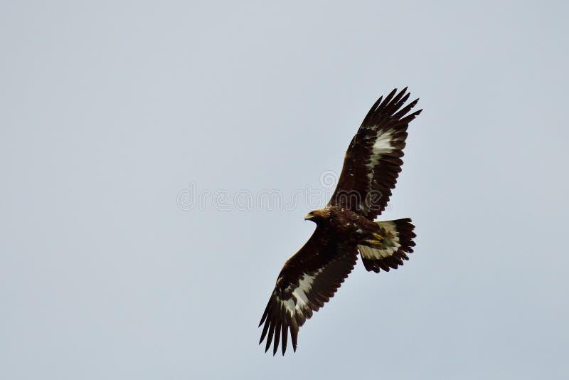 Gouden adelaar tijdens de vlucht royalty-vrije stock fotografie