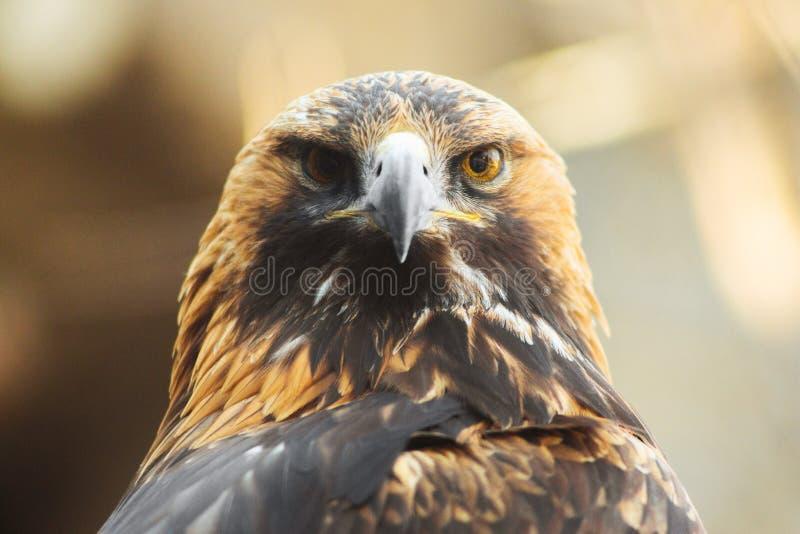 Gouden adelaarszitting op de tak Portret van gouden adelaar Jagende vogel royalty-vrije stock afbeelding