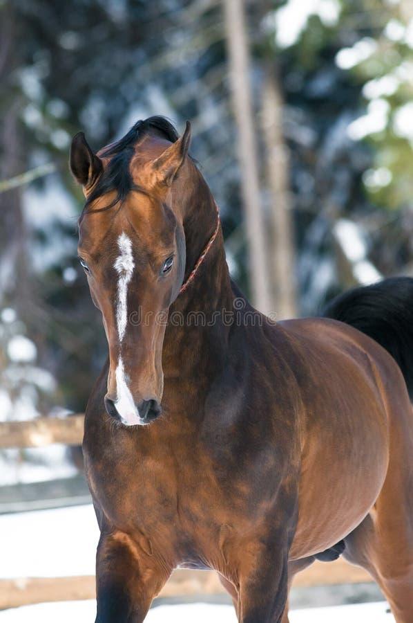 Gouden Akhal -akhal-teke paardportret in de winter royalty-vrije stock foto