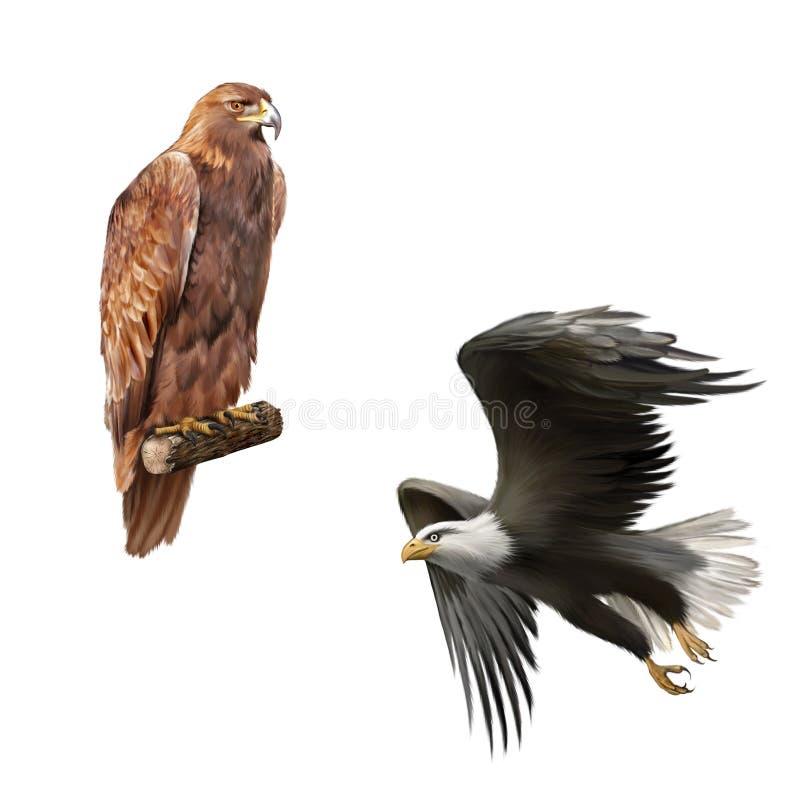 Gouden Amerikaanse kale adelaar, Aquila-chrysaetos stock illustratie