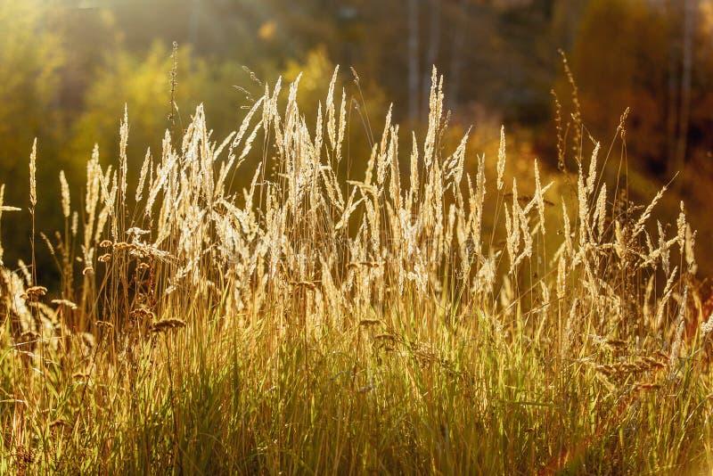 Gouden aren op het gebied, zonsonderganglicht De recente Zomer of de Vroege Herfst stock foto