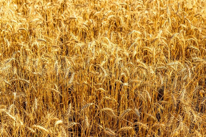 Gouden aren van tarwe op zonnige dag stock foto's