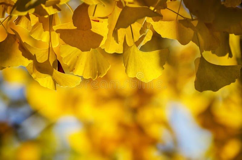 Gouden Autumn Ginkgo Biloba Tree Leaves royalty-vrije stock afbeelding