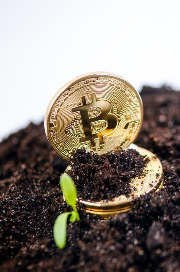 Gouden bitcoinmuntstukken op een een grond en het groeien installatie Virtuele munt Crypto munt nieuw virtueel geld stock afbeelding