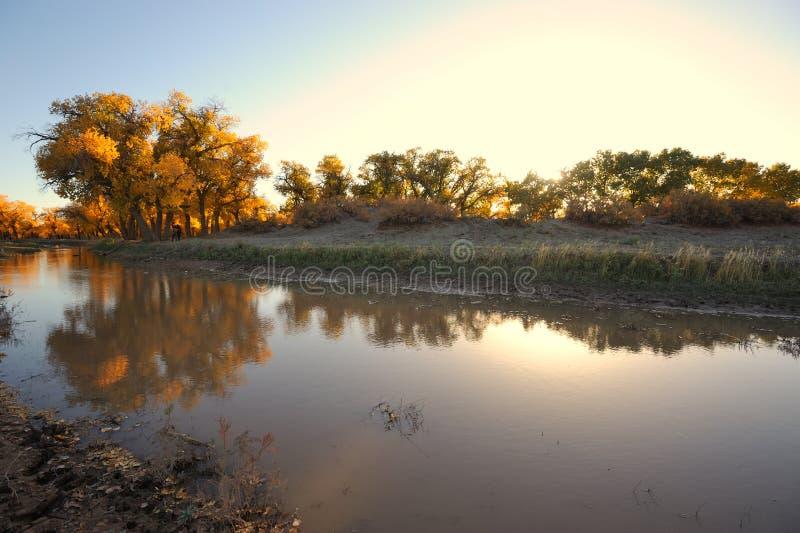 Gouden bomen bij zonsondergang stock foto's