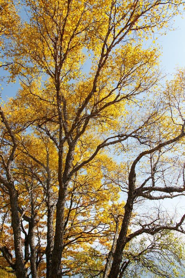 Gouden bomen en bladeren op Baihua Mountainï ¼ Œ Peking stock fotografie