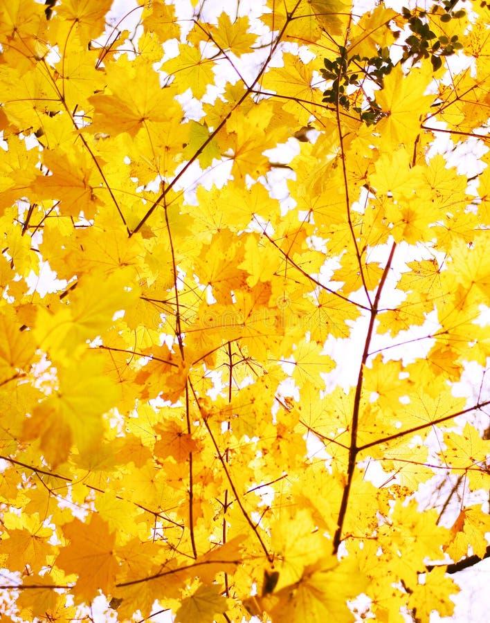 Gouden dalingsbladeren stock foto's
