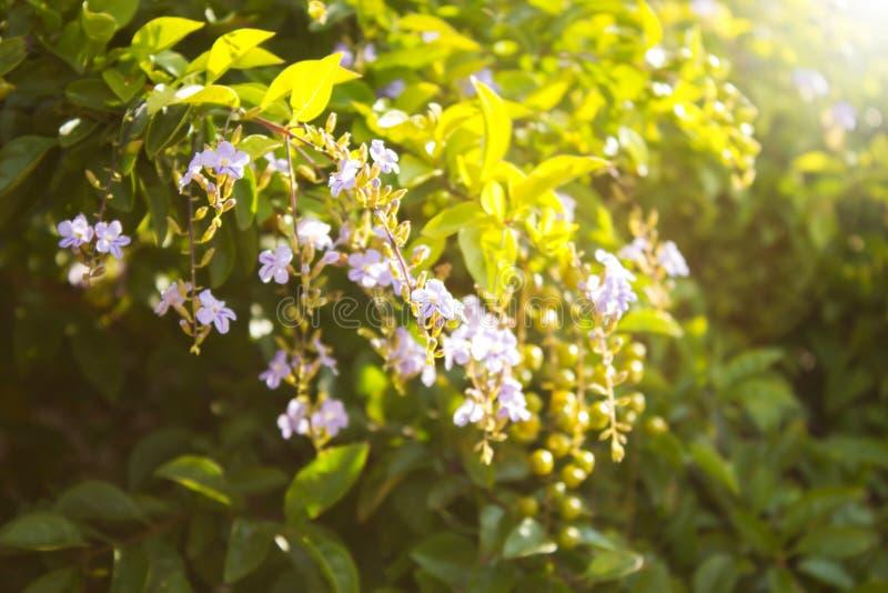 Gouden Dauwdruppelbloem stock foto's
