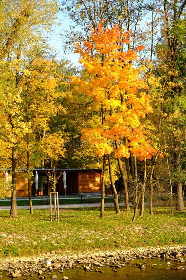 Gouden de herfstbomen stock foto's