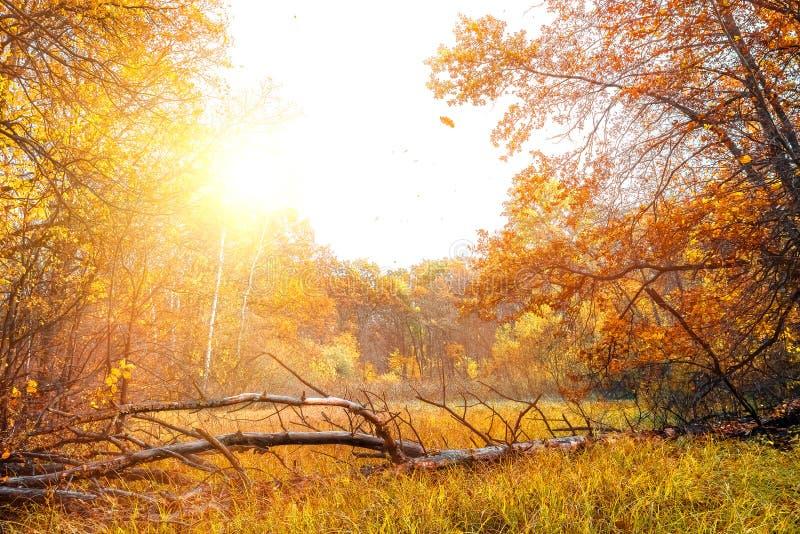 Gouden de herfstscène in bos, met dalende bladeren royalty-vrije stock foto