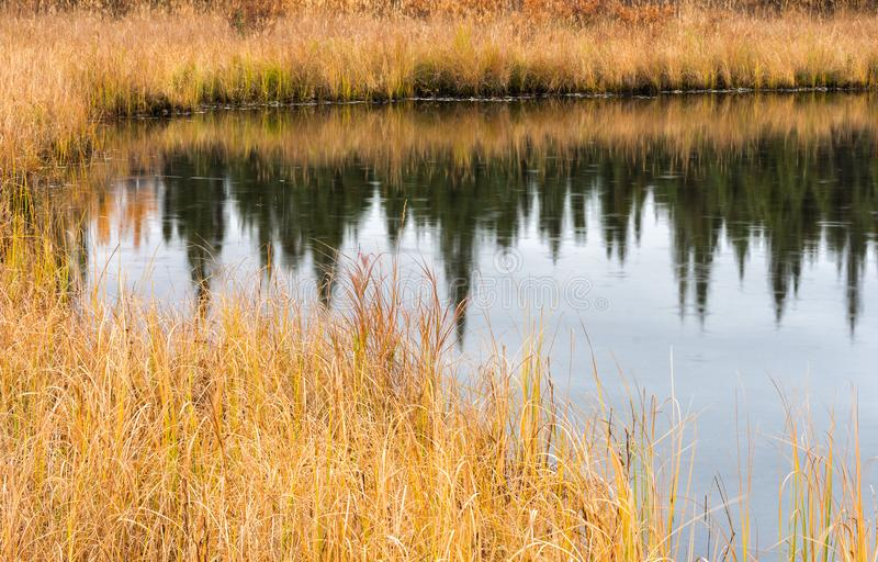 Gouden die gras in donkere vijver wordt weerspiegeld royalty-vrije stock afbeeldingen