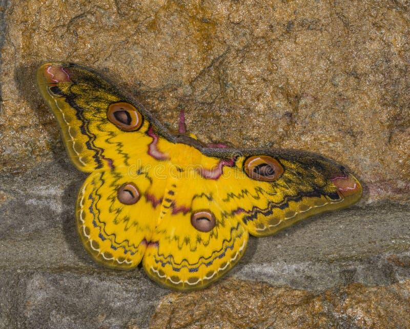Gouden die keizermot in Cherrapunjee wordt gezien royalty-vrije stock fotografie