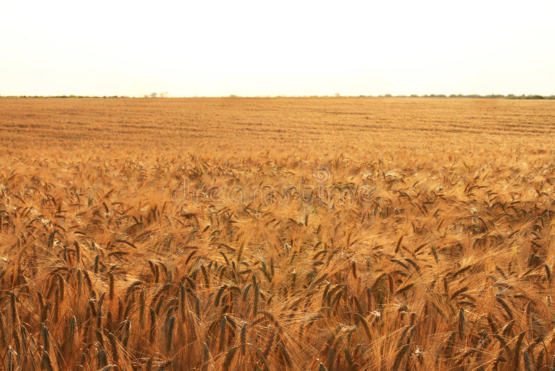 Gouden die tarwe op gebied met zon wordt overstroomd stock foto's