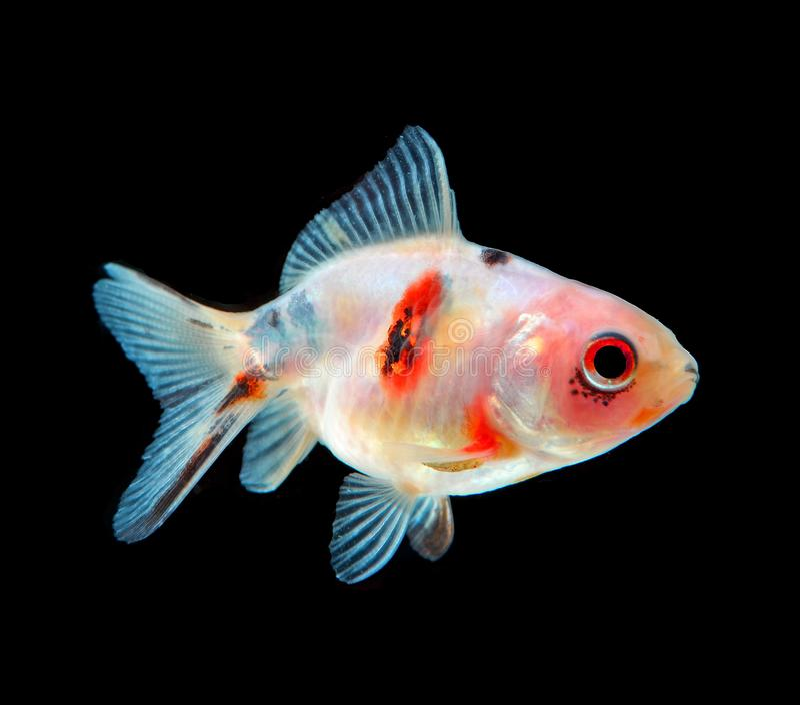 Gouden die vissen op zwarte achtergrond worden ge?soleerd stock foto