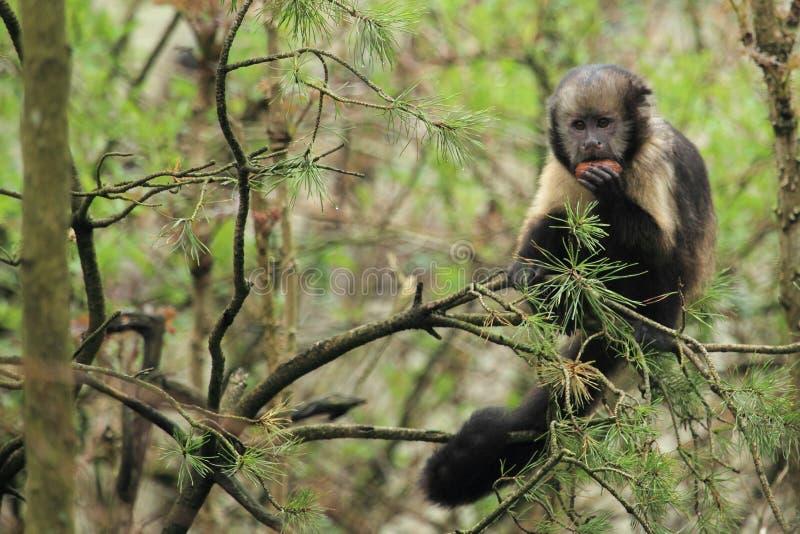 Gouden doen zwellen capuchin stock fotografie
