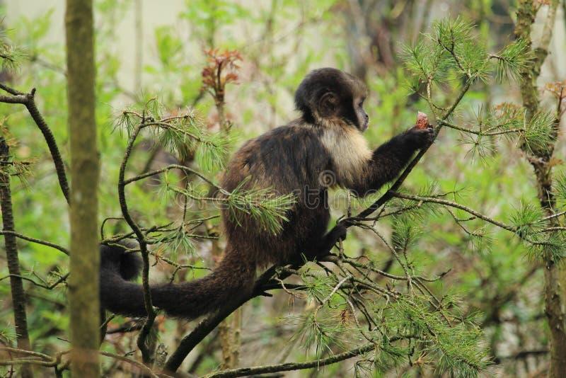 Gouden-doen zwellen capuchin stock fotografie