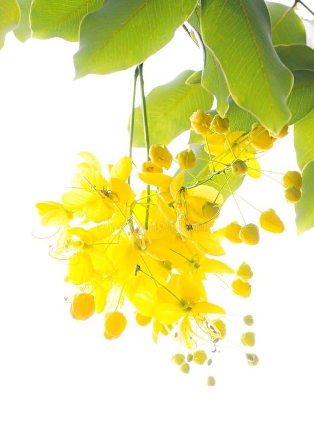 Gouden doucheboom (de fistel van de Kassieboom) stock afbeelding