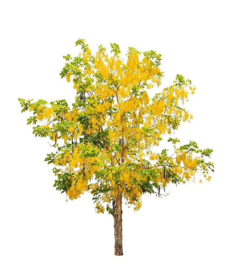 Gouden doucheboom (de fistel van de Kassieboom) stock foto