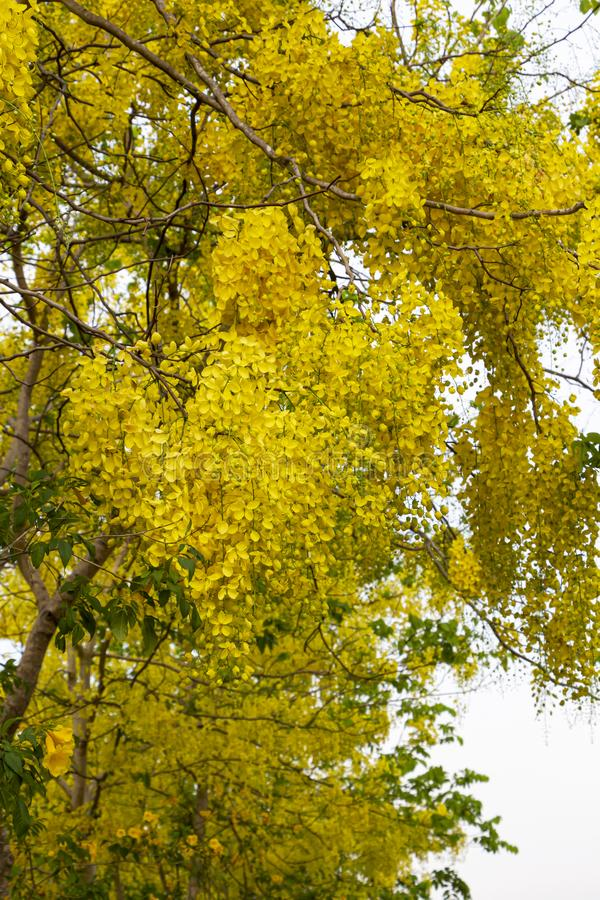 Gouden Doucheboom, Kassieboomfistel in het park of bos in tropisch stock afbeelding
