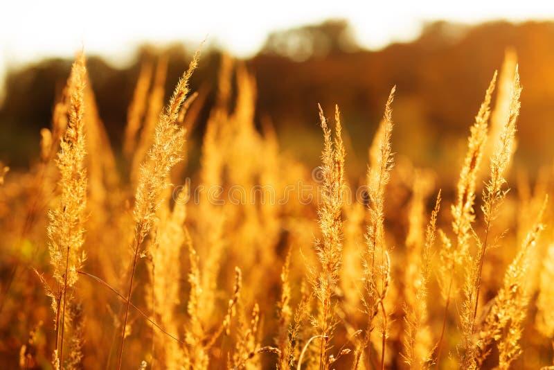 Gouden droog gras royalty-vrije stock fotografie