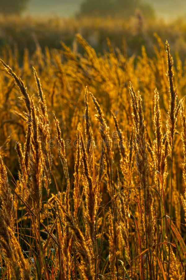 Gouden droog lang Stipa-tenacissima of sspartopluimgras bij de herfstochtend met selectieve nadruk stock foto's