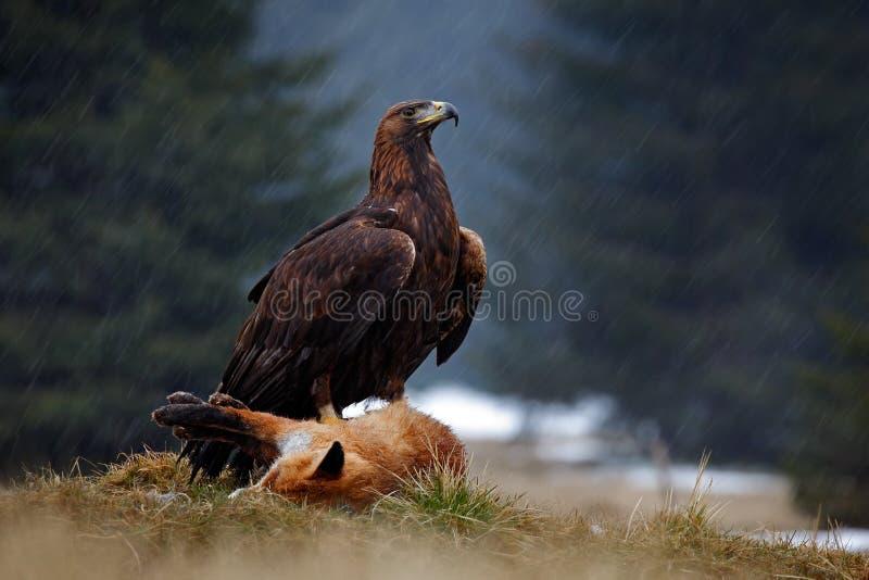 Gouden Eagle, die op doden Rode Vos in het bos tijdens de regen voeden royalty-vrije stock fotografie
