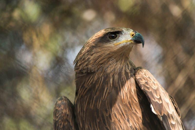 Gouden Eagle in gevangenschap royalty-vrije stock afbeeldingen
