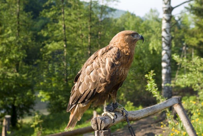 Gouden Eagle in gevangenschap royalty-vrije stock foto