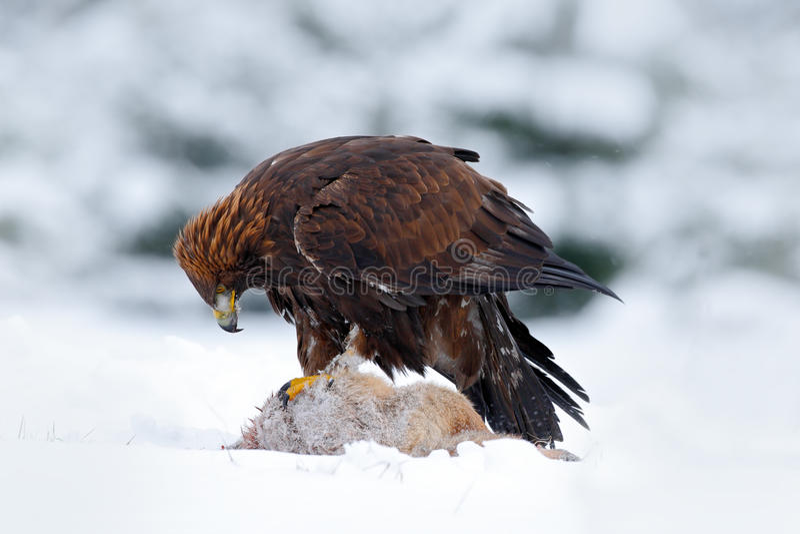 Gouden Eagle, roofvogel met de rode vos van het vangstdoden in de sneeuwwinter, sneeuw in de boshabitat, Noorwegen stock foto's