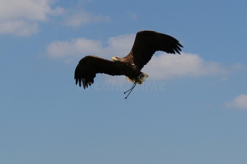 Gouden Eagle tijdens de vlucht met blauwe hemelachtergrond stock afbeeldingen