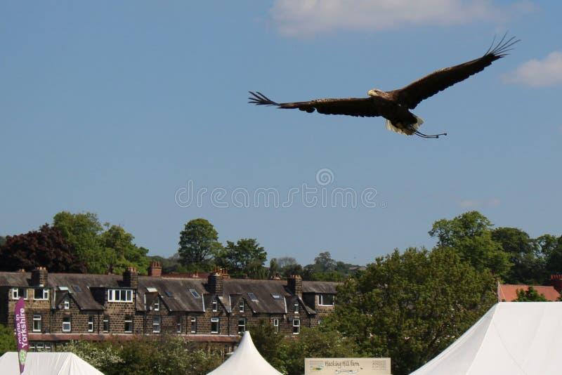 Gouden Eagle tijdens de vlucht met huizen, bomen & blauwe hemelachtergrond stock fotografie