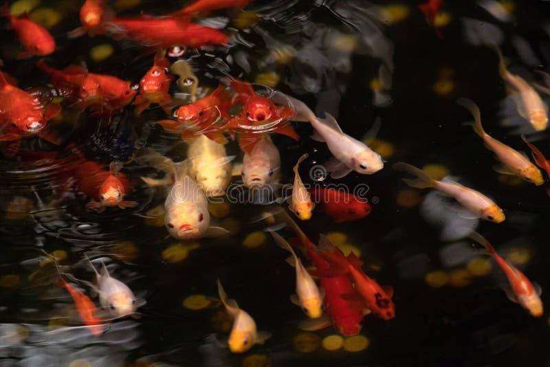 Gouden en rode vissen in vijver met watercirkels royalty-vrije stock foto's