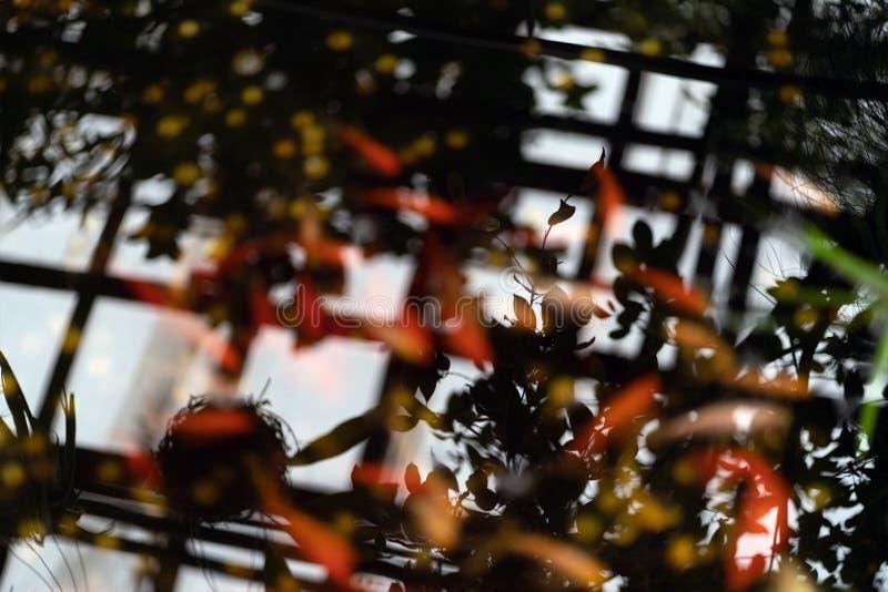 Gouden en rode vissen in vijver met watercirkels stock afbeeldingen