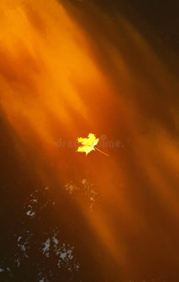 Gouden esdoornblad die in een kreek in zonlicht afdrijven stock foto's