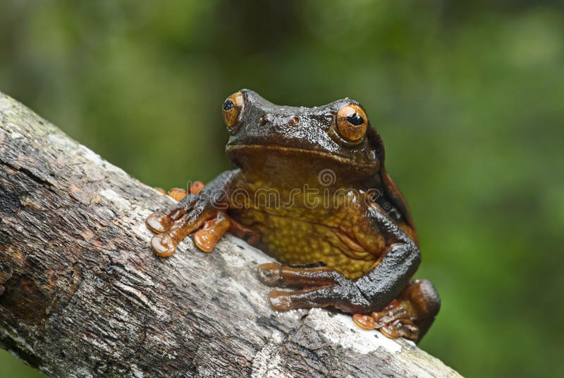 Gouden-eyed de boomkikker van Suriname royalty-vrije stock afbeeldingen