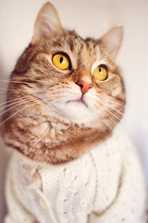 Gouden eyed kat met sweater royalty-vrije stock afbeelding