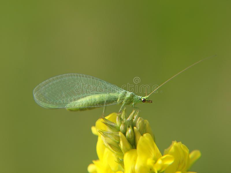 Gouden-eyed lacewing close-up royalty-vrije stock foto