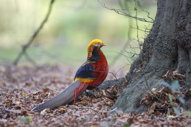 Gouden fazant, Chrysolophus-pictus, stock fotografie