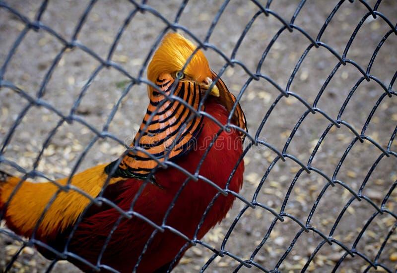 Gouden fazant in kooi stock afbeeldingen