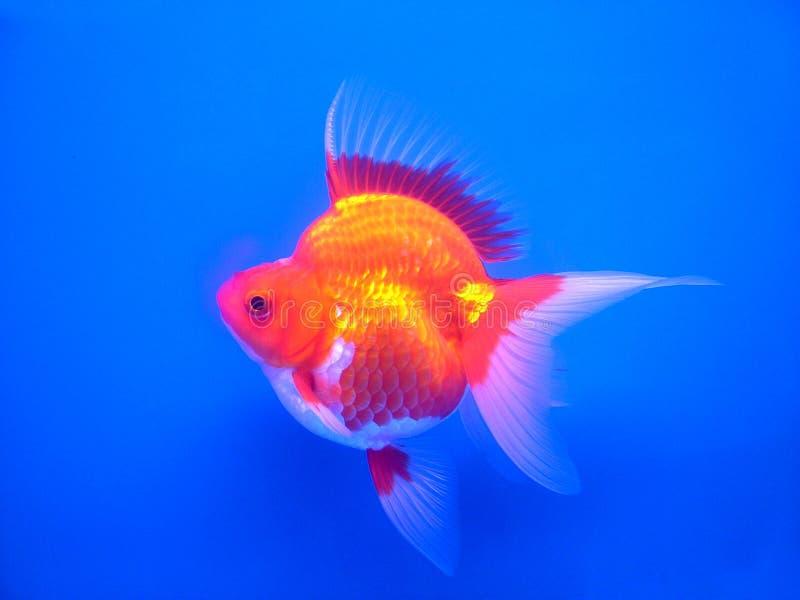 Gouden fish#1 royalty-vrije stock afbeeldingen