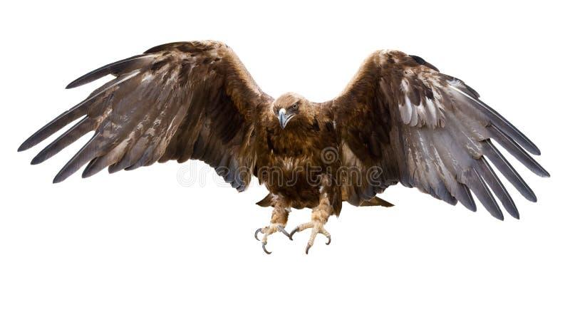 Gouden geïsoleerdeu adelaar, royalty-vrije stock fotografie